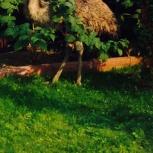 продам семью страусов эму ( самец и 2 самочки) возраст 2года 3 мес, Новосибирск