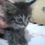 Отдам в добрые руки котёнка девочку 2 месяца, Новосибирск