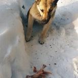 Микс щенки лайки-овчарки, Новосибирск