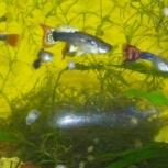 Гуппи-мирные рыбки, Новосибирск