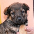 Очаровательный щенок в добрые руки!, Новосибирск