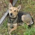 Компактный (ок. 12 кг) воспитанный молодой пес, Новосибирск