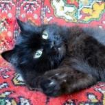 Нюша - роскошная черная кошка, Новосибирск