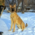 Собака. Метис бельгийской овчарки малинуа в дар, Новосибирск