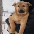 Отдам очаровательных щенков, Новосибирск