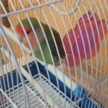 продам попугая неразлучника с клеткой, Новосибирск