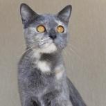 Грациозная и красивая голубококремовая кошечка с золотыми глазками!, Новосибирск