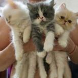 Продаются персидские котята, Новосибирск