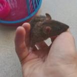 Отдам крысёнка в хорошие руки!, Новосибирск