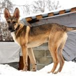 Честер - щенок в добрые руки, Новосибирск