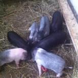 продам поросят вьетнамской вислобрюхой свиньи, Новосибирск