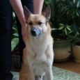 Славный, обаятельный, общительный пес Рыжий!, Новосибирск