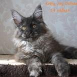 Чудесные котята мейн кун, Новосибирск