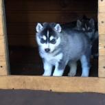 Чистокровные щенки сибирской хаски, Новосибирск