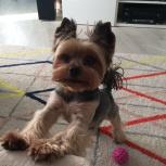 Пропала собака йоркширский терьер в г. Оби Новосибирской области, Новосибирск