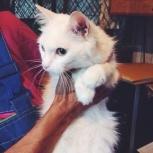 Афина – маленькая беленькая кошка ищет дом и любовь!, Новосибирск