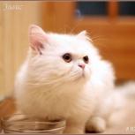 Шикарный белый кот Элвис, Новосибирск