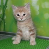 Чистокровные котята курильского бобтейла, Новосибирск
