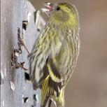 щеглы, чижи. Птица выдержанная, Новосибирск