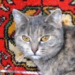 Алиса очаровательная трехцветная кошка, Новосибирск