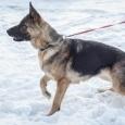 Немецкая овчарка в добрые руки (собака), Новосибирск