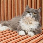 Абсолютно роскошная кошка Стеша – красавица и личность – ищет дом!, Новосибирск