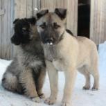 Очень хороший щенок, будущий охранник по имени Солдатик! 3,5 мес., Новосибирск