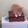 Рыжая кошечка курильского бобтейла. Продается счастье!, Новосибирск