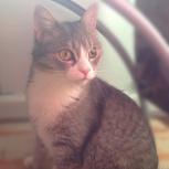 Кошка с положительной энергетикой – компаньон для взрослого человека, Новосибирск