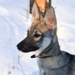 Машенька и Челси  - щеночки в дар, Новосибирск