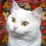 Белоснежная кошка красавица Бима, Новосибирск