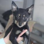 Девочка-щенок Берта, вырастет средней. 3 мес., Новосибирск