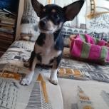 Потерялся щенок, девочка 6 месяцев, метис карликового пинчера, Новосибирск