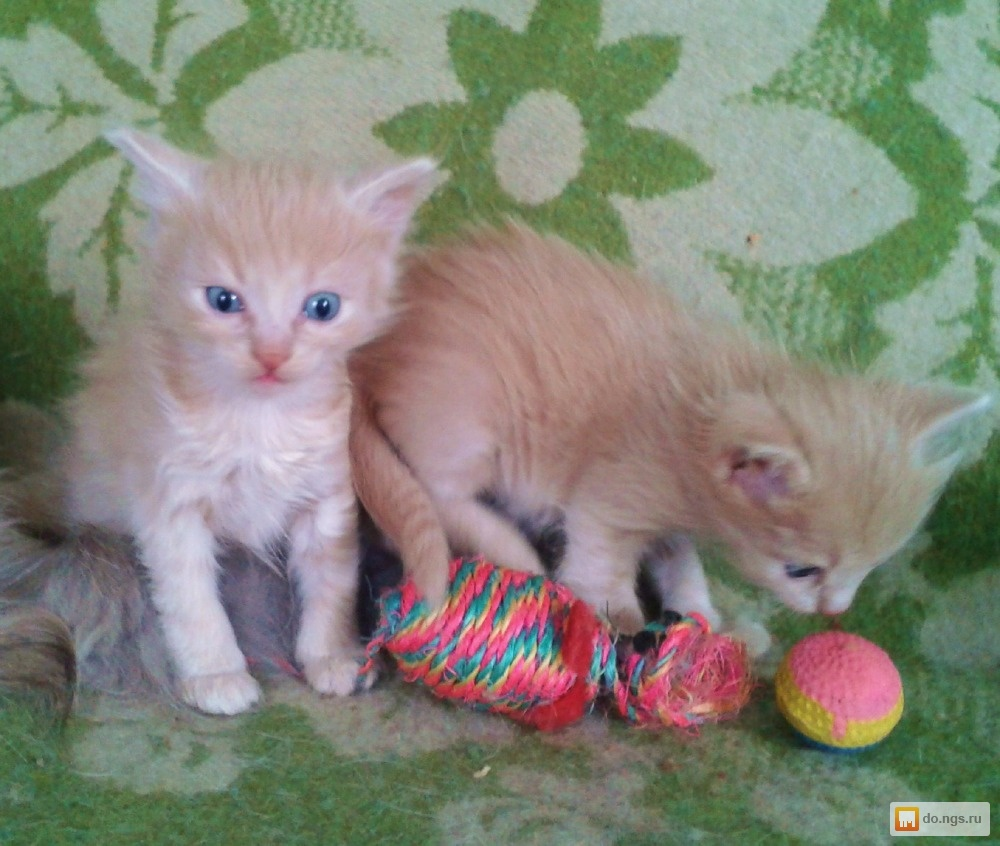 JUNGLE - ориентальные кошки, сиамские кошки, питомник ...