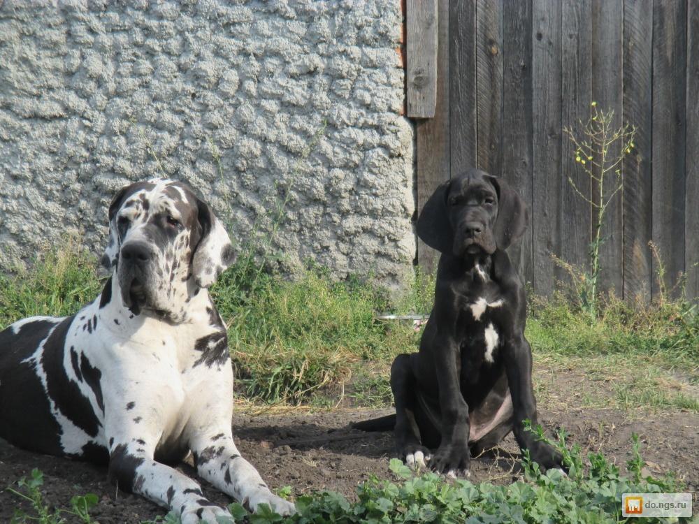 Фото в собаки и щенки продажа собак, щенков щенки немецкого дога черного и голубого окраса в краснодаре 20 000