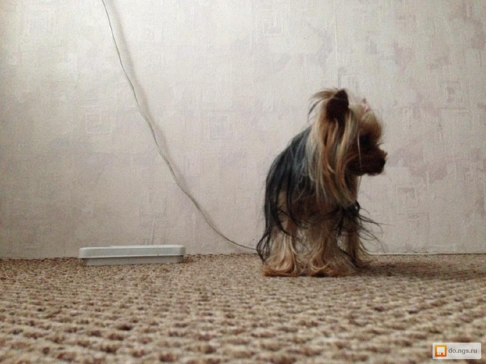Йоркширский терьер - yorkshire terrier