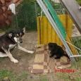 Отдам в добрые руки щенка, Новосибирск