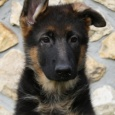 Приму в дар щенка овчарки, Новосибирск