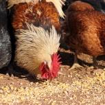 Корма для сельскохозяйственной животных и птиц с бесплатной доставкой, Новосибирск