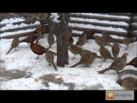 Ловушка для фазана на видео