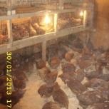 Цыплята бройлера в наличии и под заказ (круглогодично), Новосибирск