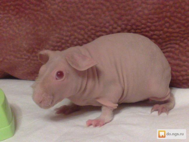 Фото морская свинка голая
