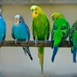 Попугаи волнистые собственного разведения (доставка), Новосибирск