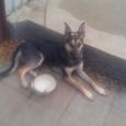 Отдам в хорошие руки собаку, девочку 1.5 года, Новосибирск