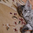 Кошечка Курилочка, Новосибирск