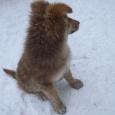 Щенок метис овчара (голубоглазый!!!) девочка, 3 месяца, Новосибирск