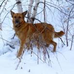 Злата ищет семью. Отдам собаку, Новосибирск