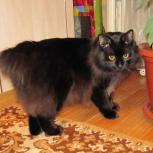 Курильский кот бобтейл для вязки, Новосибирск