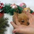 очаровательные крошечные той терьеры (щенки), Новосибирск
