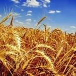 продам сухое цельное зерно пшеницы или комбикорм с доставкой по городу, Новосибирск